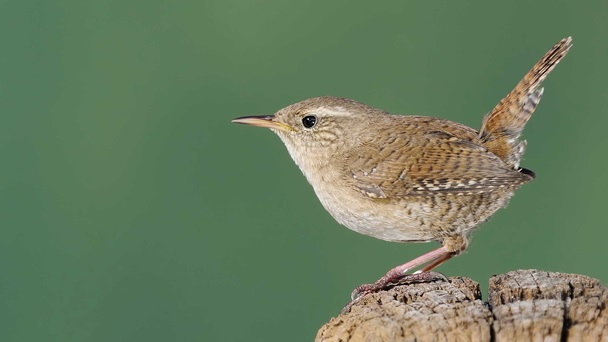 wren-1ThinkstockPhotos-181807663.jpg