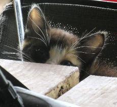 Peeking Calico