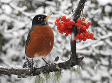 Berries for the Robin